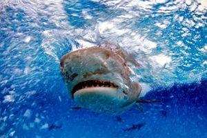 Bàn tay đeo nhẫn trong xác cá mập hổ hé lộ sự thật gây sốc