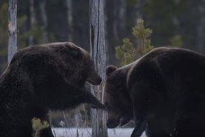 CLIP: Hai con gấu nâu kịch chiến để giành mồi