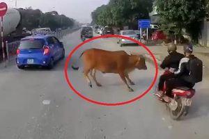 Va chạm với bò trên đường, ôtô bị gãy gương chiếu hậu