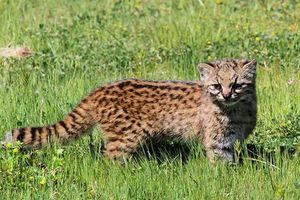 Khám phá 'choáng' giống mèo ma cà rồng siêu hiếm, leo núi cừ khôi