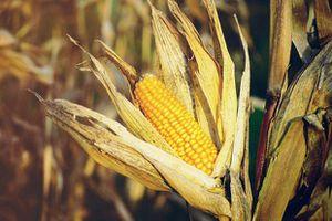 USDA điều chỉnh giảm dự báo sản lượng ngô của Hoa Kỳ trong niên vụ 2019/2020