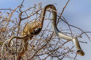 Khi rắn độc chết thê thảm bởi cầy hoang