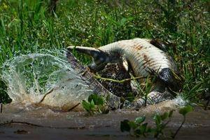 CLIP: Báo đốm đoạt mạng cá sấu nhanh như chớp