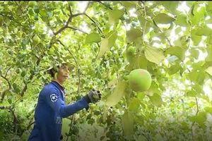 Đồng Tháp: Biến đất hoang thành vườn táo, thu gần 1 triệu/ngày