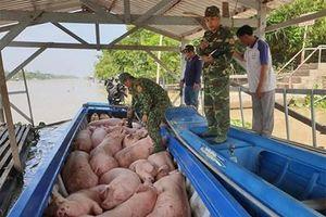 Bộ đội Biên phòng An Giang tiêu hủy gần 2 tấn lợn vận chuyển từ Campuchia vào Việt Nam