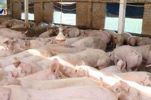Vì sao giá lợn hơi tăng cao kỷ lục?