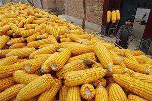 Thị trường hàng hóa từ ngày 4 - 8/11: Giá nông sản giảm