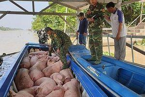 An Giang: Bắt, tiêu hủy hơn 1,8 tấn lợn nhập lậu qua biên giới