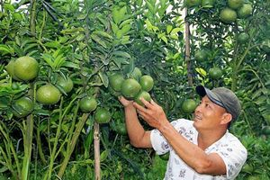 Trai miền Tây làm vườn cam sành bạc tỷ trên đất Lâm Đồng