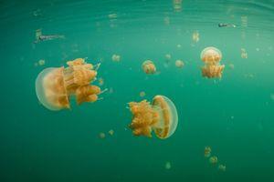 Cơn sốt du lịch đe dọa loài sứa không nọc độc ở Indonesia