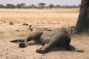 Số voi chết vì hạn hán ở Zimbabwe lên tới 200 con