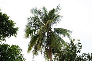 Phiên xử 'vụ cây dừa' kết thúc có hậu