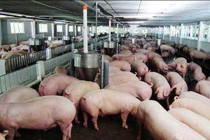 Thịt lợn tăng chưa từng có, do chính dân nuôi thổi giá