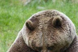 Mẹ con gấu nâu cắn yêu đùa giỡn hạnh phúc