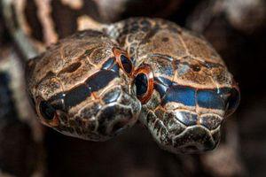 Cùng một thân, rắn hai đầu quý hiếm cắn nhau để tranh quyền