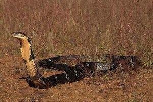 Bí ẩn vùng đất được coi là 'vương quốc' của bầy hổ chúa khổng lồ