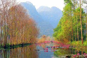 Ngẩn ngơ mùa hoa súng nhuộm hồng suối Yến chùa Hương
