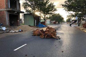 Đà Nẵng: Bò thả rông gây mất mỹ quan, tiềm ẩn nguy cơ tai nạn