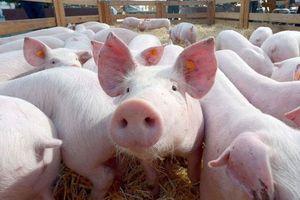 Dịch tả lợn Châu phi giảm nhiệt, 60% số xã qua 30 ngày dịch không bị tái dịch