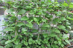 Hướng dẫn trồng rau mồng tơi sạch tại nhà
