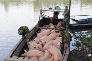 Bắt giữ và tiêu hủy hơn 3,7 tấn lợn thịt vận chuyển từ Campuchia vào Việt Nam