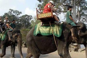Campuchia cấm du khách cưỡi voi ở Angkor Wat từ 2020