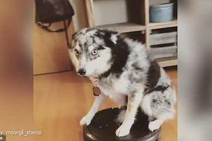 'Sen' vắng nhà, 'boss' cưỡi robot lau nhà làm trò tiêu khiển