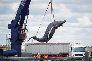 Va chạm tàu lớn, cá voi lưng gù chết thảm