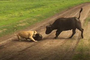 CLIP: Sư tử tinh ranh đoạt mạng trâu rừng trong chớp mắt
