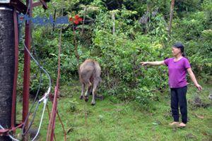 Hà Giang: Đàn trâu dự án chết vì bị bệnh lở mồm long móng hay thiếu chăm nom?