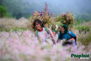 Mê đắm Hà Giang mùa hoa tam giác mạch