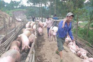 Trung Quốc giá đắt gấp đôi, bất chấp lệnh cấm ồ ạt đưa lợn qua biên