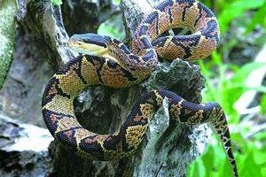 Những loài rắn nghe tên đã kinh khiếp, nhìn vào lại 'mê mẩn'