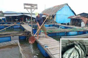 Cá nuôi lồng bè trên sông Chà Và tiếp tục chết: Ngư dân như ngồi trên đống lửa