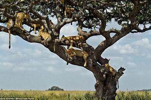 Tránh nắng nóng kiểu sư tử châu Phi khiến nhiều người không thể nhịn cười