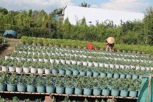 Nông dân đã gieo trồng hơn 154.740 chậu hoa kiểng phục vụ thị trường Tết