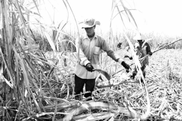 Ninh Thuận tìm hướng phát triển ngành mía đường bền vững