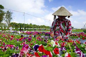 Làng hoa Sa Đéc trồng thêm 200 giống hồng ngoại phục vụ Tết nguyên đán 2020