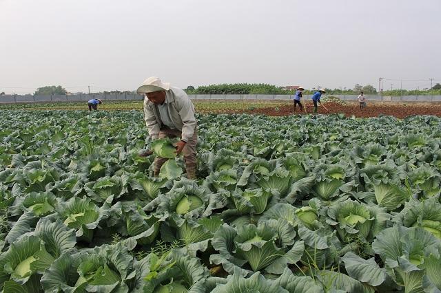 Lãi lớn nhờ mô hình trồng rau hữu cơ vụ Đông