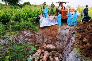Nguy cơ ô nhiễm môi trường do tiêu hủy lợn chưa đúng quy cách