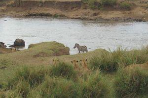 Bị bầy sư tử mai phục khi vượt sông, ngựa vằn thoát chết ngoạn mục