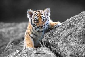 Loài hổ và những sự thật không thể ngờ