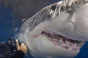Ảnh đẹp: Chụp cận cảnh cá mập trắng khổng lồ nhe răng