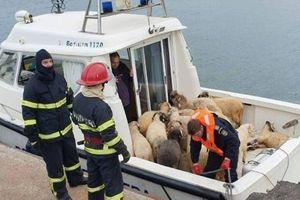 Vụ lật tàu ngoài khơi Romania: nỗ lực giải cứu cừu non không khả thi, tỉ lệ sống sót thấp