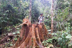 Lại phát hiện phá rừng phòng hộ quy mô lớn ở Quảng Nam