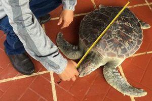 Thả 'cụ rùa' về biển!