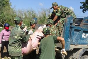 Đồn Biên phòng Phú Hội tiêu hủy hơn 500kg lợn nhập lậu