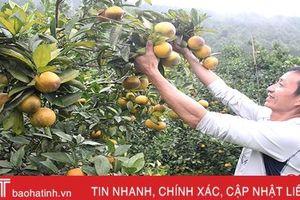 Các nhà vườn háo hức đón chờ hiệp hội trồng cam đầu tiên ở Hà Tĩnh