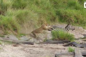 Ngựa vằn tung vó đá vào mặt sư tử, thoát chết trong gang tấc