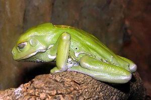 Loạt siêu năng lực của loài ếch khiến con người thèm khát